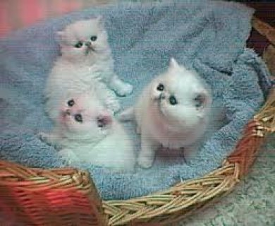 AkC registered Persian kittens for cheap adoption