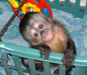Ready capuchin/Finger marmoset monkeys for adoption