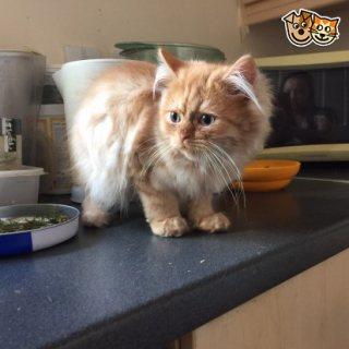 Gorgeous Persian Kittens