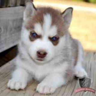Precious Micro Siberian Husky Female Available