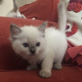 Tica Registered Blue Cp Boy And Girl
