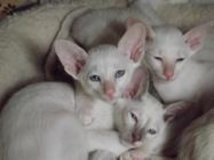 صور Adorable and cute Siamese kittens up for sale 1