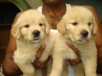 Health certified Golden Retriever Puppies for adoption