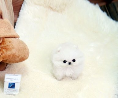 Health certified Pomeranian Puppies for sale
