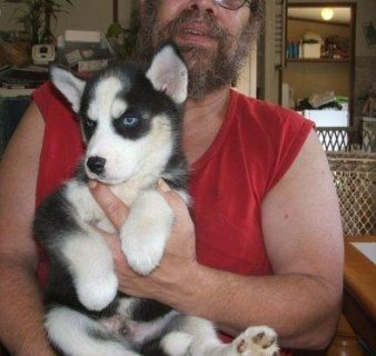 صور  1 Male & 1 Females in the litter Siberian husky puppies  1
