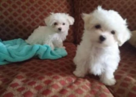 !!!!CUTE MALE AND FEMALE MALTESE PUPIES FOR FREE ADOPTION!!!