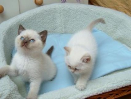 صور Cute Male And Female Ragdoll Kittens 1