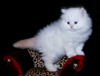 Beautiful male and female Teacup Persian kittens for sale