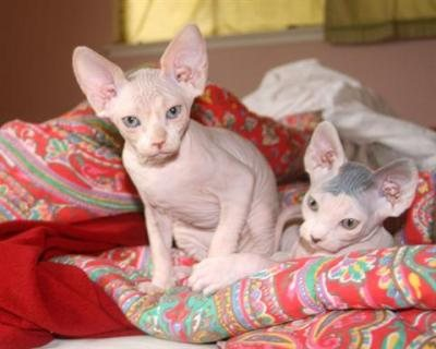 Cutest male and female Registered Sphynx Kittens Available For S