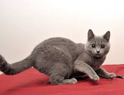 صور Chartreux Kittens for Sale 1
