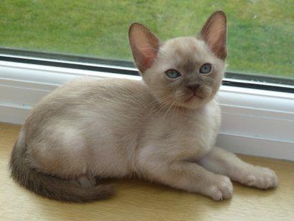 Burmese  Kittens for Sale
