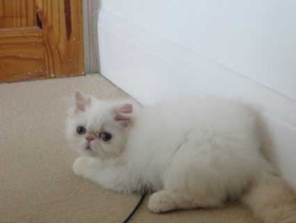 صور             Himalayan Kittens Available 1
