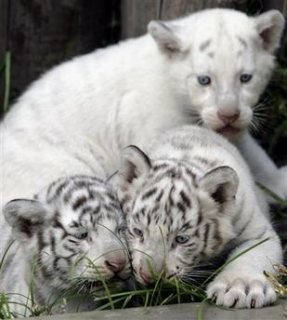 Cheetah cubs and tiger cubs for sale.