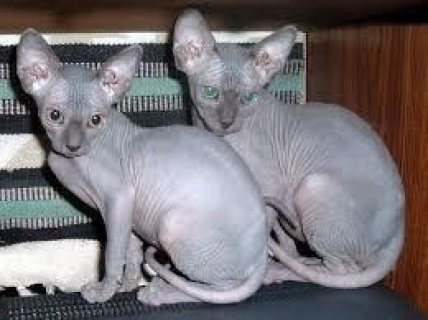 REGISTERED SPHYNX KITTENS READY FOR THEIR NEW HOMES