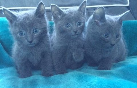 Gccf Reg Russian Blue Kittens Ready For Adoption