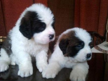 good looking male and female saint bernard puppies for rehoming
