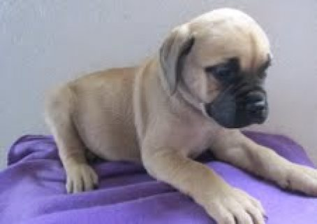 We are offering our English Bull Mastiff Puppies for sale...