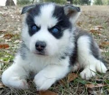 Cute and Adorable Siberian husky Puppies for sale.....