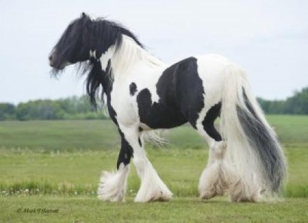 GYPSY VANNER GELDING FOR SALE