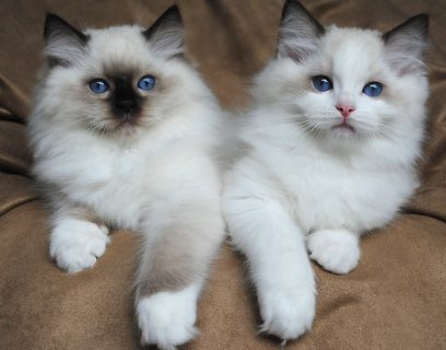 Home Raised Ragdoll Kittens for sale/.././
