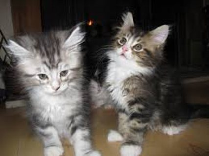 صور Maine Coon Kittens for sale 1