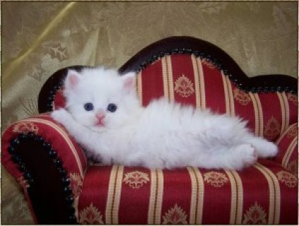 صور loovely persian kittens for rehoming./././/. 1
