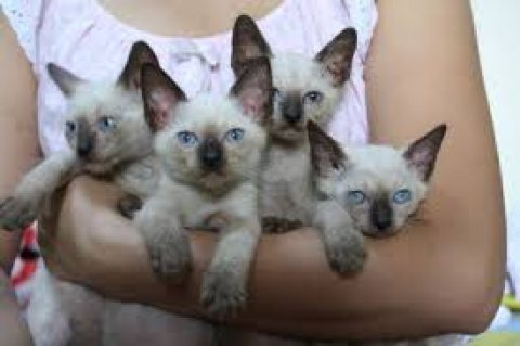 Male and Female Siamese Kittens for sale