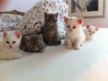 White Color Male and Female Persian Kittens For Rehoming