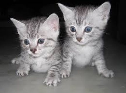 Lovely Egyptian Mau Kitten for sale.Please contact.,,,..