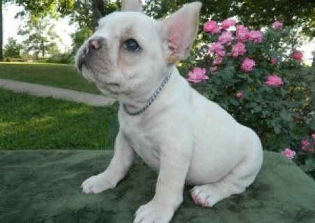 French  Bulldogs Puppies for Rehoming