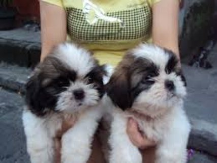 Beautiful Imperial Shih Tzu Puppies for Adoption
