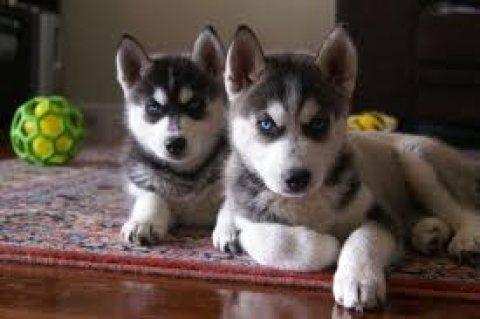 Energetic Siberian Husky Puppies for sale
