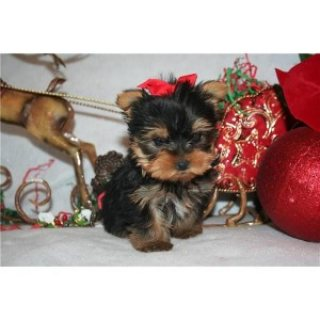 Teacup Yorkie puppies for sale./././