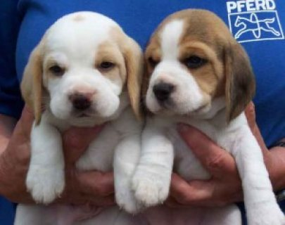 Cute Beagle puppies for sale