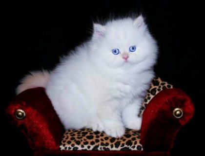 Teacup Persian Kittens For Sale..