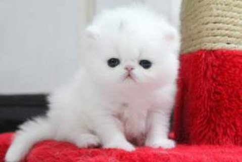 Teacup Persian Kittens For Sale....