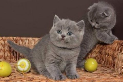 Male British shorthair kittens 12 weeks old