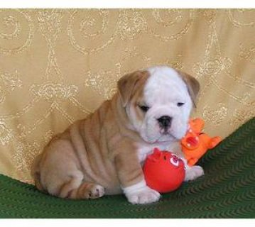 English bulldog puppies for sale.
