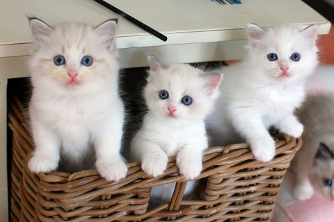 صور Ragdoll Kittens	for sale 1