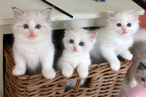 Ragdoll Kittensfor sale