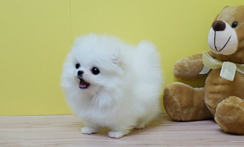 Gorgeous Pomeranian Puppies For Good Homes.