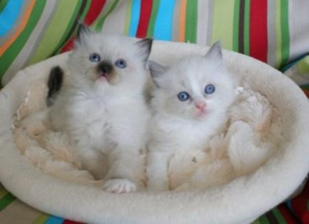 TICA Affectionate Ragdoll kittens for Re-homing