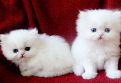 male and female Persian Kittens for Rehoming.
