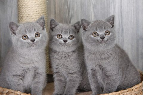 British short hair kittens available for sale
