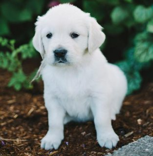 Male and Female Golden Retriever puppies for adoption.