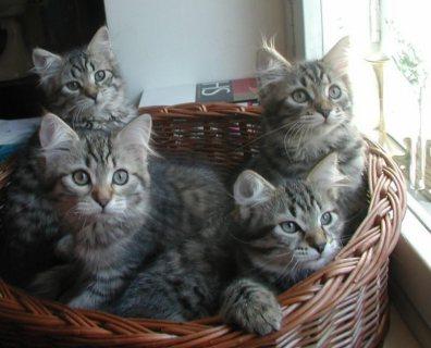 adorable siberian kittens for sale