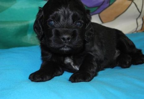 Male and Female Cocker Spaniel ready to go home