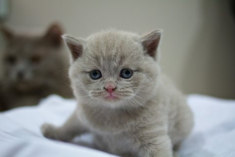Cute British Short-haired Kittens for sale.