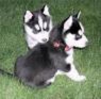 Blue Eyes Siberian Husky Puppies for Adoption,