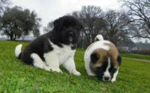 Healthy Akita Puppies For Adoption.,